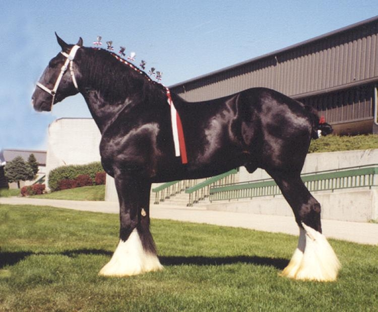 images of shire mating friesian horse